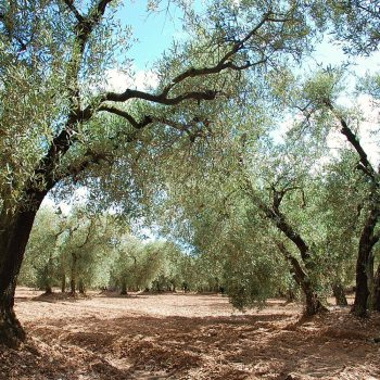 Natur - Olivenhain - Reiseleiter Provence