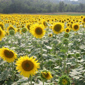 Dörfer und Natur - Sonnenblumen - Reiseleiter Provence