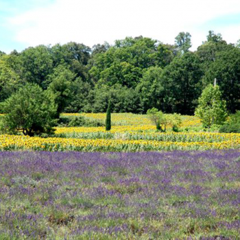Lavendelblüte - Reiseleiter Provence