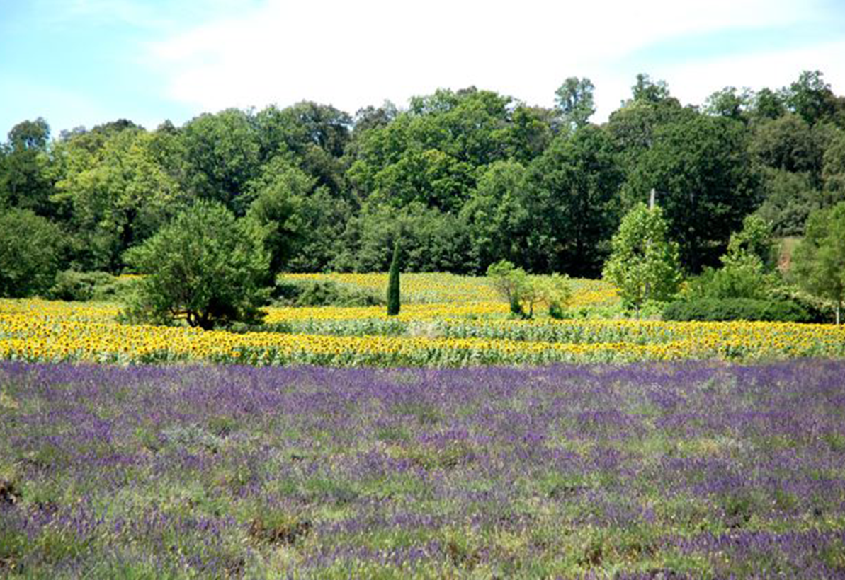Lavendelblute - Reiseleiter Provence